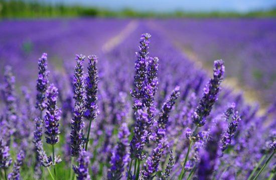 Australian Lavender plants