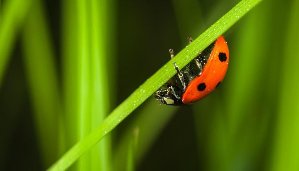 Ladybird aka Ladybug or Lady Beetle