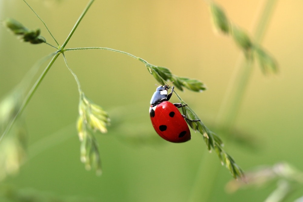 Guide to Lady Birds: Queen Insects of the Australian Garden